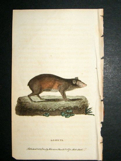 Agouti: 1800 Hand Colored Print | Albion Prints